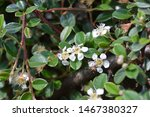 Bearberry Cotoneaster Radicans...