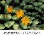 Yellow Flowers Of Living Stone