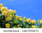 Yellow Rose Flower On Blue Sky...