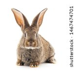 Stock photo grey baby rabbit isolated on a white background 1467474701