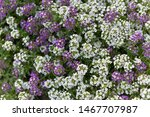 Alyssum. Alyssum Flowers. The...