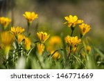 yellow flowers  close up of... | Shutterstock . vector #146771669