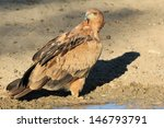 Tawny Eagle   Wild Raptor...
