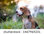 An Adorable Beagle Dog Sitting  ...