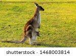 Australian Kangaroo Enjoying...