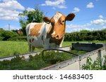 A Jersey Cow Comes To Drink...