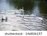 beautiful swans in the pond | Shutterstock . vector #146836157