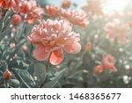 Pink Flower Peony Flowering In...