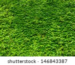Bright Green Ivy Leaves...
