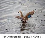 An Eastern Spot Billed Duck ...