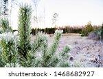 Pine Tree With Snow All Around...