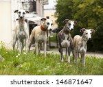 Stock photo dog breeds whippet greyhound hunting dog 146871647