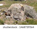 Trio Of Marmots Gather Around ...