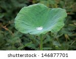 Water On A Lotus Leaf .