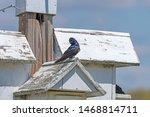 Purple Martin on Top of a Nesting House in the Horicon National Wildlife Refuge in Wisconsin