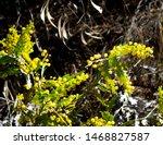 Acacia Cultriformis  The Knife...