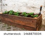 Strawberry Plants In Wooden Box