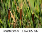 Broad Leaved Cattail  Typha...