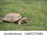 Turtle On Grass In Natural...