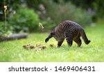 Tabby Domestic Shorthair Cat...