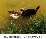 Florida Muscovy Duck Swiming On ...