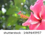 Closeup  Hibiscus Flower Polle...