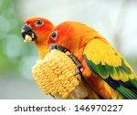 Sun Conure Parrot Eating Corn...