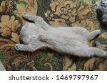 Stock photo  cute little british kitten sleeping on his back 1469797967