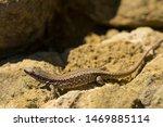 The Sand Lizard  Lacerta Agili...