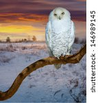 Snowy Owl  At  Wildness In...