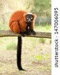 red ruffed lemur  varecia rubra ... | Shutterstock . vector #147006095