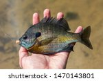 Fishing picture of a Bluegill caught while in the Midwest.