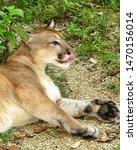 A Captive Puma Or Mountain Lio...