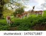 Spotted Deer Or Axis Deer In...