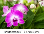 purple orchid with green leaves ... | Shutterstock . vector #147018191