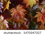 autumn multicolor maple leaves...   Shutterstock . vector #1470347327