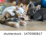 Stock photo three kittens breastfeeding three colored cat with beautiful eyes feeds kittens kittens with 1470580817