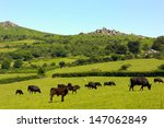 Dartmoor View Of Cattle And...