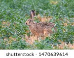 Stock photo wild hare lepus europaeus in the field 1470639614
