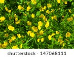 Ranunculus acris (Meadow buttercup, Tall buttercup) with her yellow flowers - stock photo