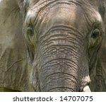 Closeup Of African Elephant...