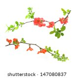 Red Flowering Quince Isolated...