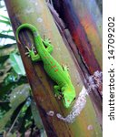 Green Madagascar Day Gecko On ...