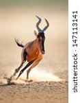 Small photo of Red hartebeest running - Alcelaphus caama - Kalahari desert - South Africa