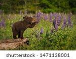 Small photo of Black Bear Cub (Ursus americanus) Paws at Lupine Summer - captive animal