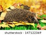 Hedgehog On Autumn Leaves In...