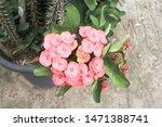 poy sian euphorbia milli.... | Shutterstock . vector #1471388741