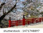 Cherry Blossoms At The Hirosaki ...