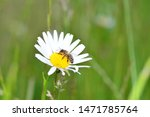 One  bee   (  Apoidea  )  on a daisy in green nature with copy space