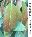 Small photo of Ficus virens tree in vegetable garden. The leaves of this plant can be cooked as food. There are astringent and sour taste. Phrae Thailand.